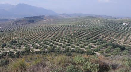 Paisaje olivar de Cenite